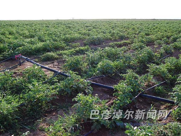 近年来,乌拉特前旗开展的农业高效节水灌溉膜下滴灌工程让农